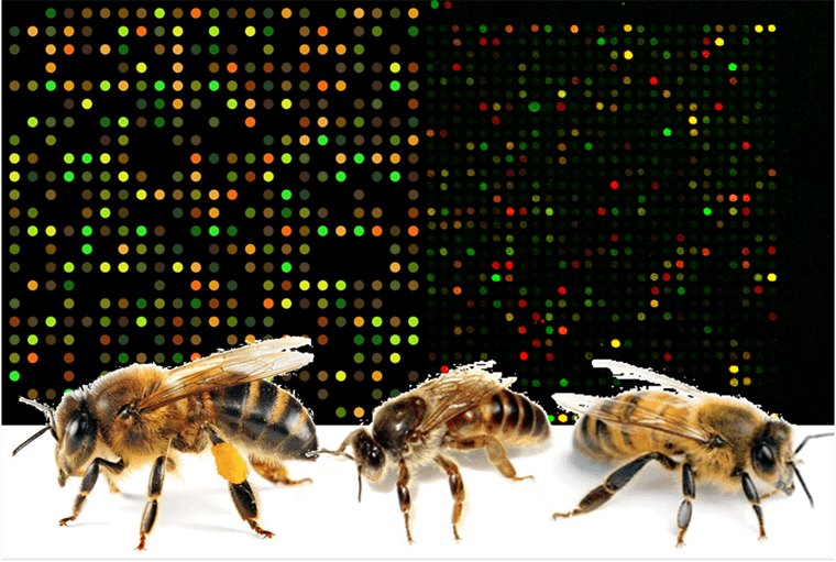 Genes, Bees and Who We Become